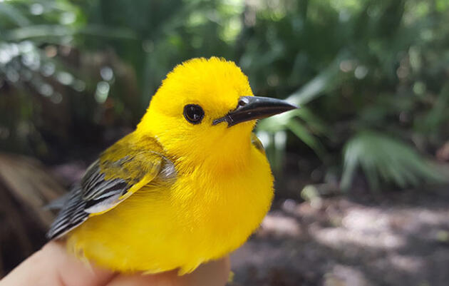 2016 Prothonotary Warbler Geolocator Deployment