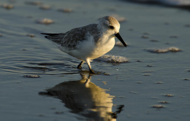 Audubon Coastal Bird Survey