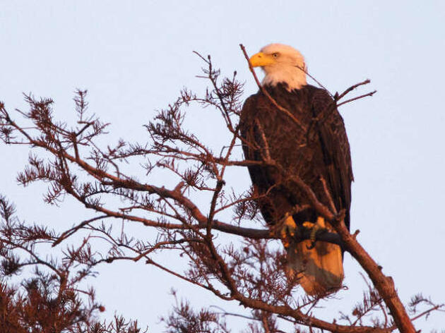 Bald eagle numbers rise as hundreds nest in Louisiana