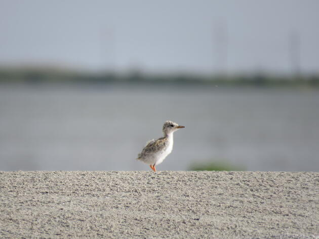 Tropical Storm Cindy blamed for killing half of the Gulf's newly hatched shorebirds