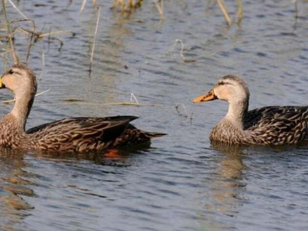 Popular La. game bird at risk, but not from hunting