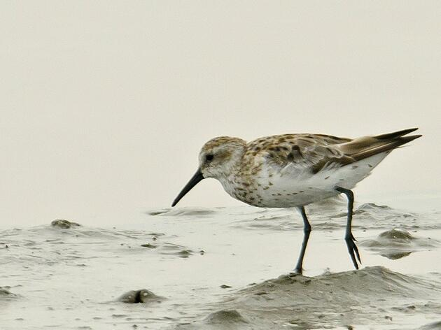 Shorebirds of Louisiana Wetlands Added to Conservation Effort by USDA's Natural Resources Conservation Service