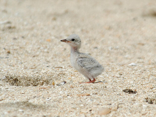 Audubon Asks for Public's Help on Gulf Coast Beaches this Memorial Day Weekend