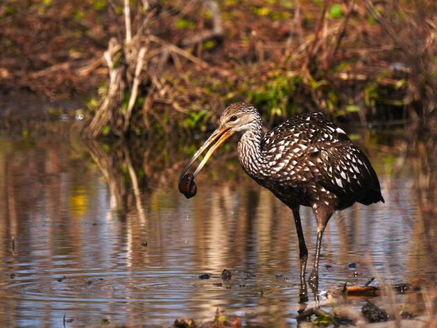 What the what? Louisiana's First and Second Limpkin Reports!