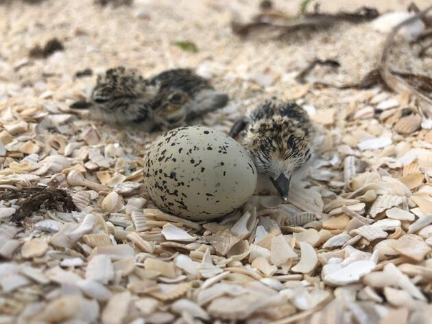 Volunteer to Save Beach-nesting Birds this 4th of July Weekend!