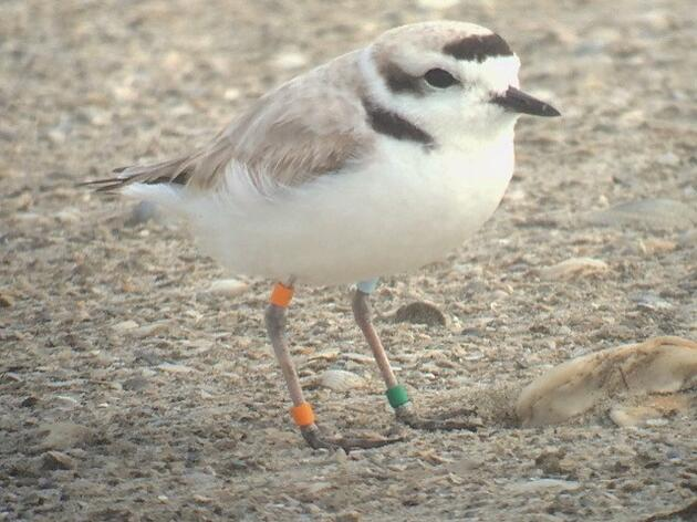 Mr. Orange and Ms. Barnes - a shared story between a plover and a biologist