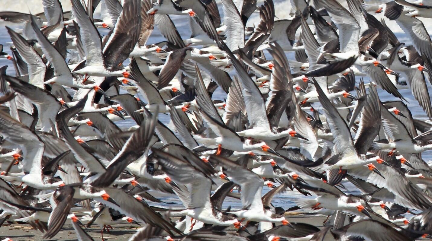Louisiana has more Black Skimmers than any other state in the country. Photo by Dan Mooney.