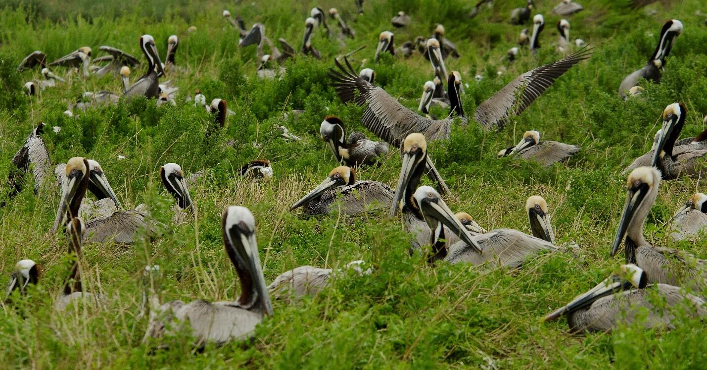 A Brown Pelican nesting colony in southeastern Louisiana.