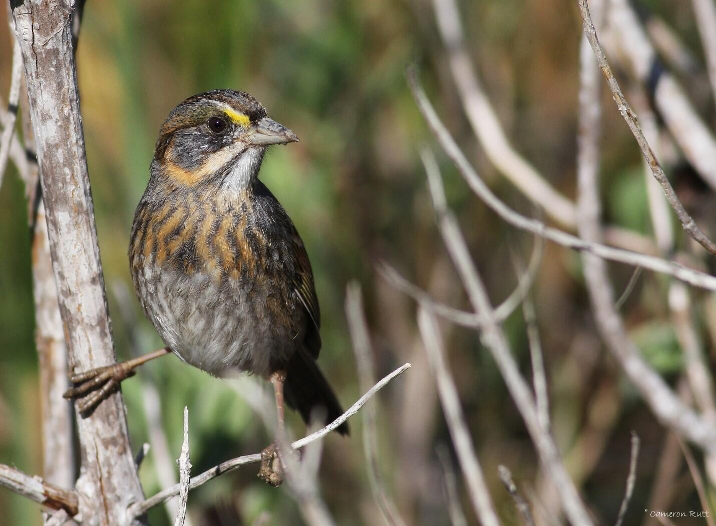 More than 3.5 million, or half of the world's, Seaside Sparrows depend on Louisiana's estuarine marshes.