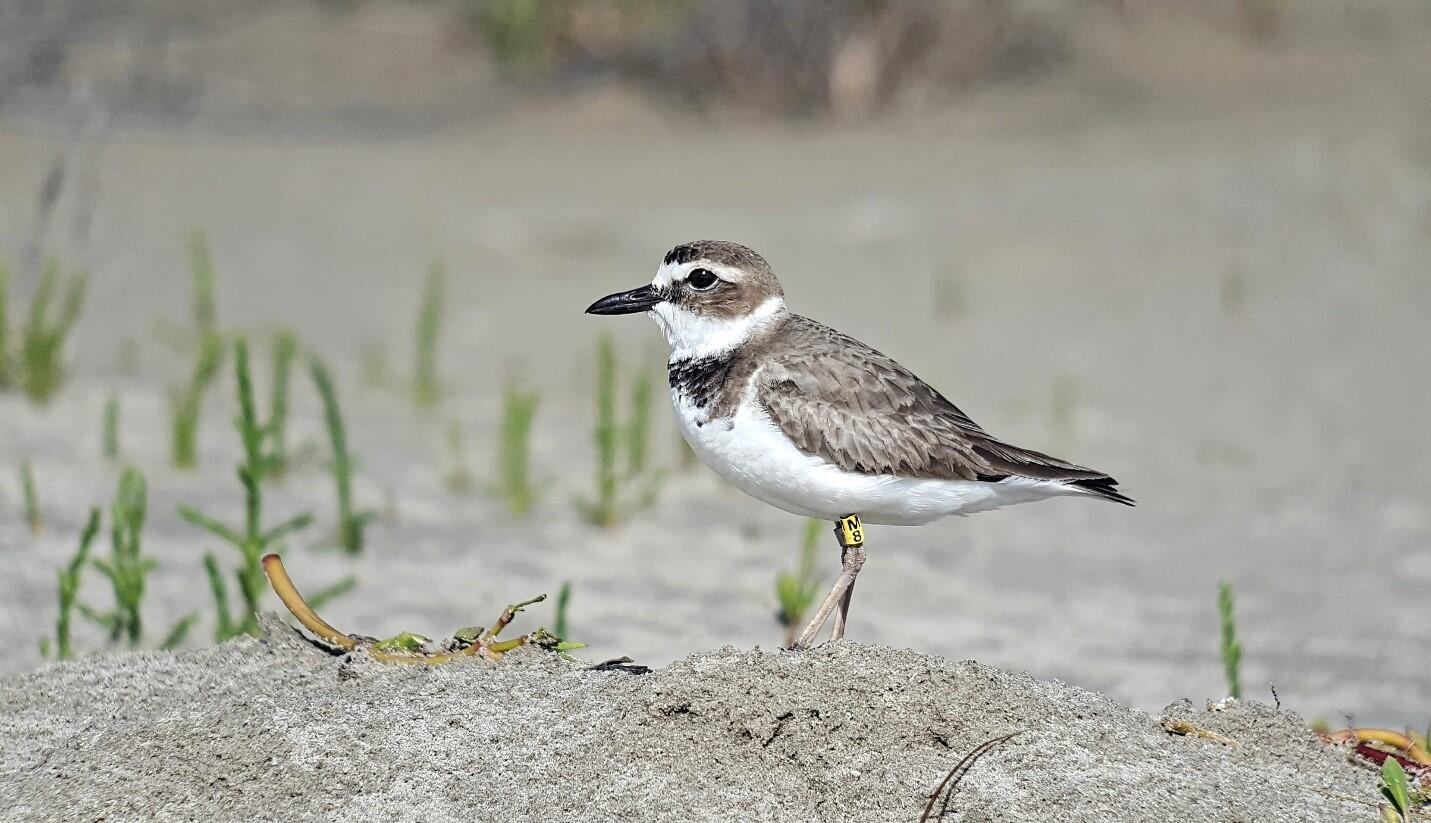 Audubon Louisiana protects Wilson's Plover nesting areas and studies their response to coastal restoration in partnership with Tulane University and University of Louisiana-Lafayette.